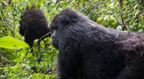 Q-and-A: Mountain Gorilla Trekking