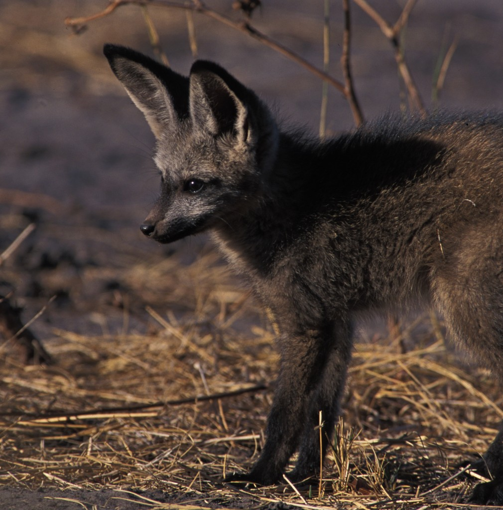 A bat-eared fox pup. Photo © Richard Field