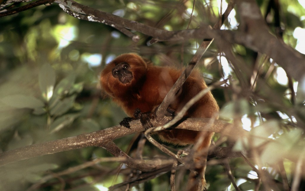 A golden lion tamarin in Brazil. Photo © Juan Pratginestots/WWF-Canon