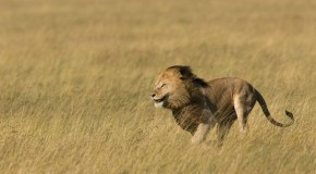 Ten Interesting Facts about Lions