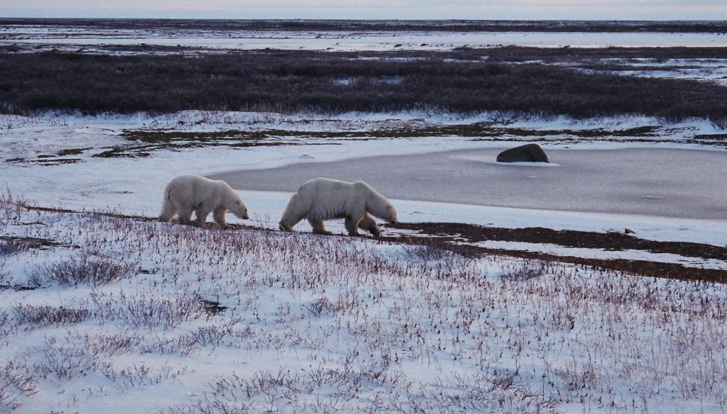 Polar Bears in Churchill Manitoba Canada