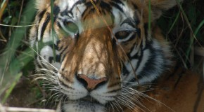 Know Before You Go: Test your Tiger IQ before Travel to India