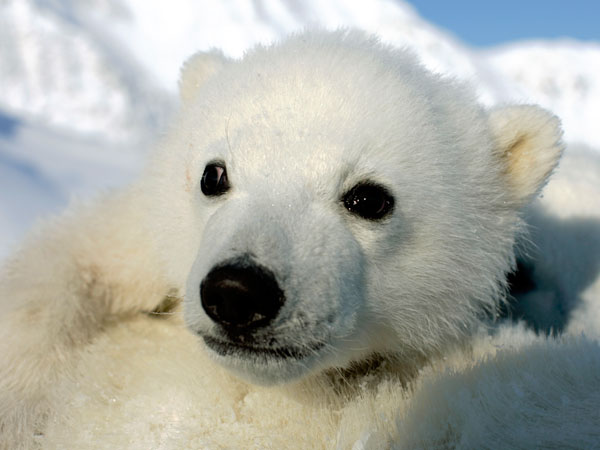Photo © Jon Aars/Norwegian Polar Institute/WWF-Canon