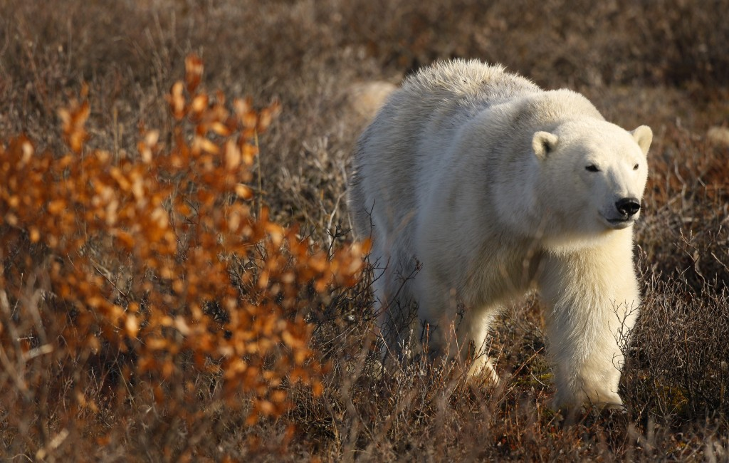 Polar bears come ashore in the summer months when the ice recedes. Climate change is increasing the length of arctic summers. Photo (c) Eric Rock