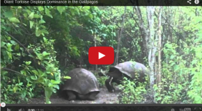 Video of the Week: Giant tortoise displays dominance in the Galapagos