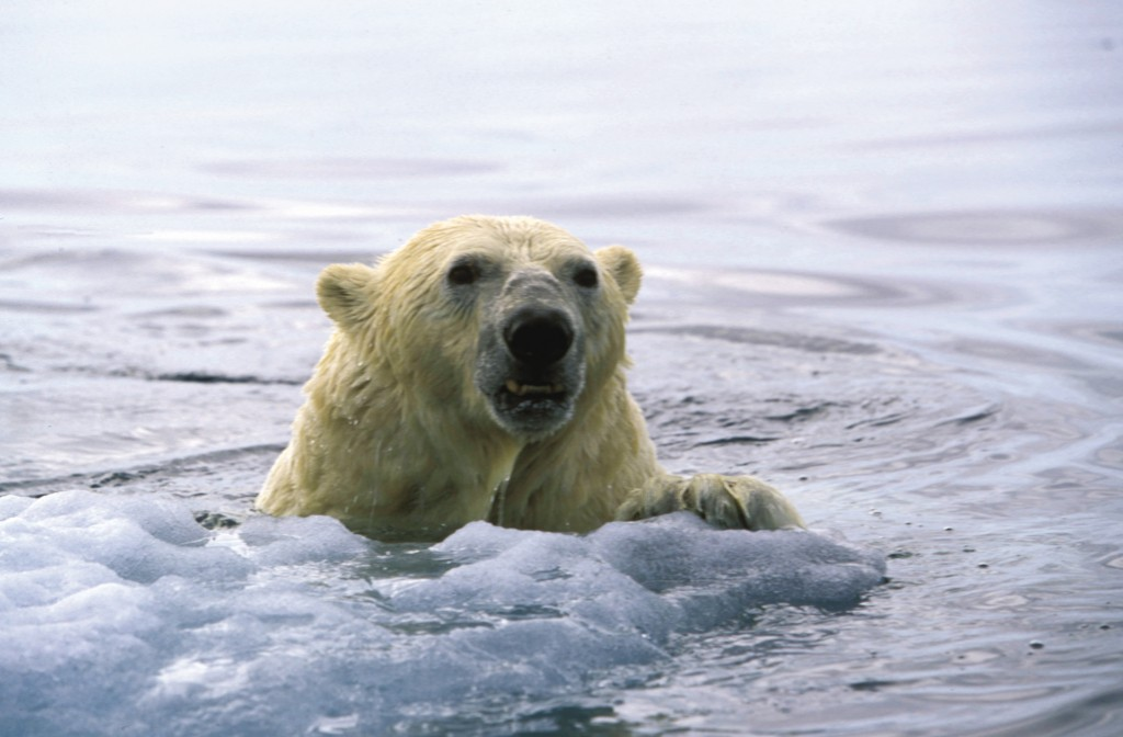 Polar bears are accomplished swimmers; they can sustain a swimming pace of 6.2 miles per hour their fur is water resistant. Photo (c) Paul Nicklen/National Geographic/WWF-Canada