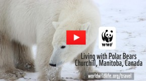 Video of the Week: Living with Polar Bears