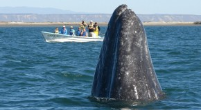 Banner Year for Whales in Baja!