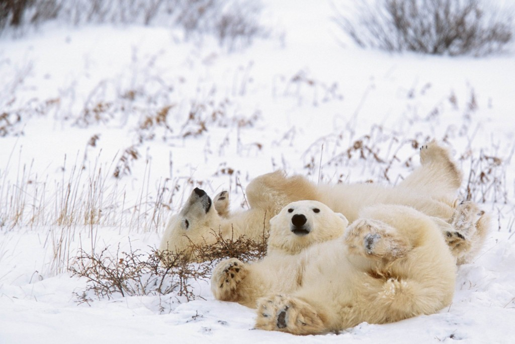 Polar bears like to keep clean. After feeding, they will usually wash themselves by taking a swim in the sea or by rolling around in the loose snow. Photo (c) Patrick J. Endres
