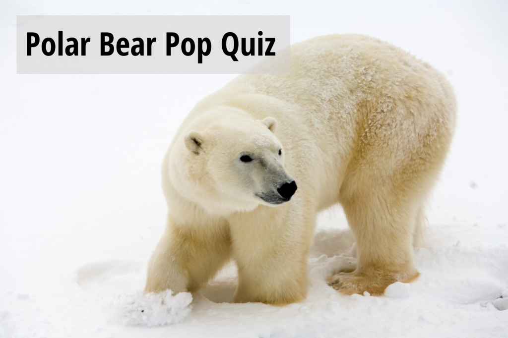 polar bear pop quiz