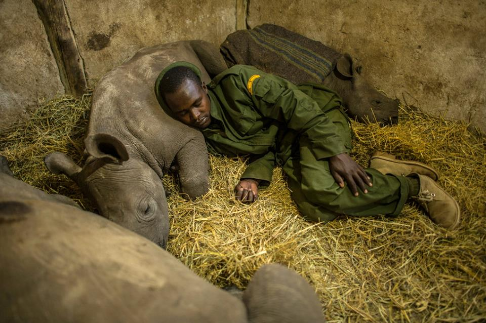 Baby rhino sleeps with park ranger