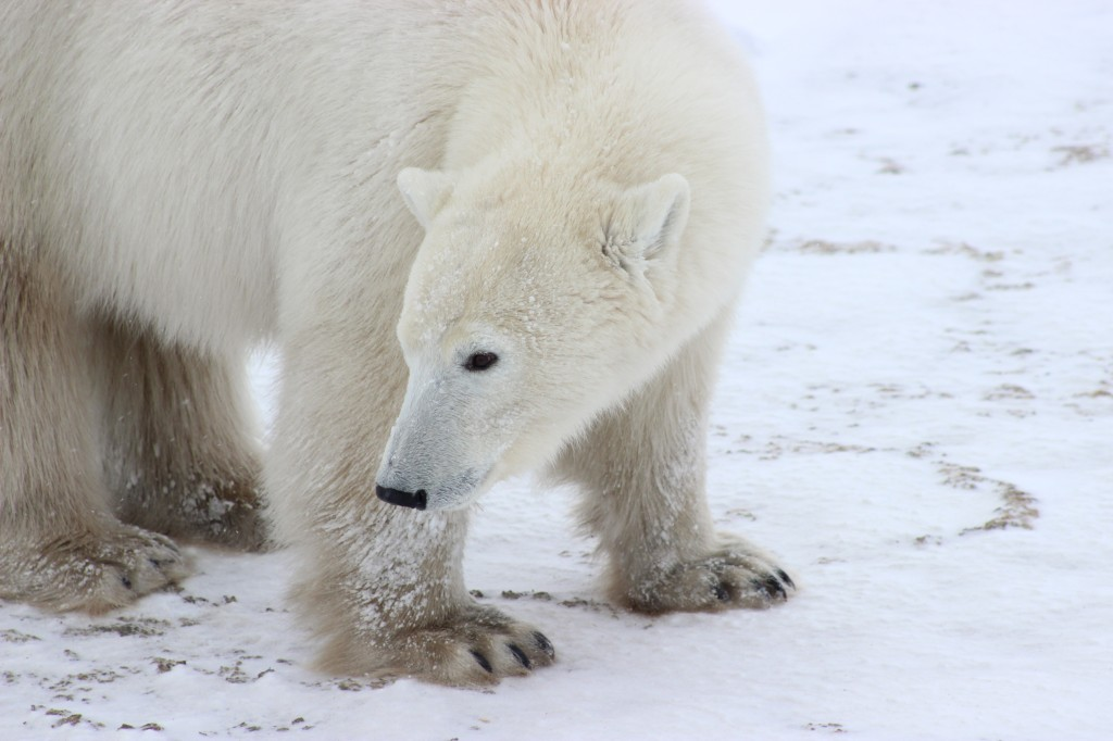The hair of a polar bear contains no pigment; the reflection of light gives the polar bears their white appearance. The skin underneath their fur is black. Photo (c) Tania Segura/WWF-US