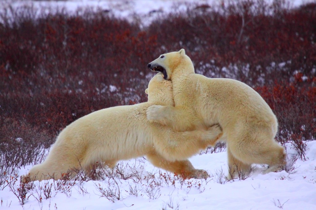 Polar bears sparring, fighting, Churchill, Manitoba, Canada