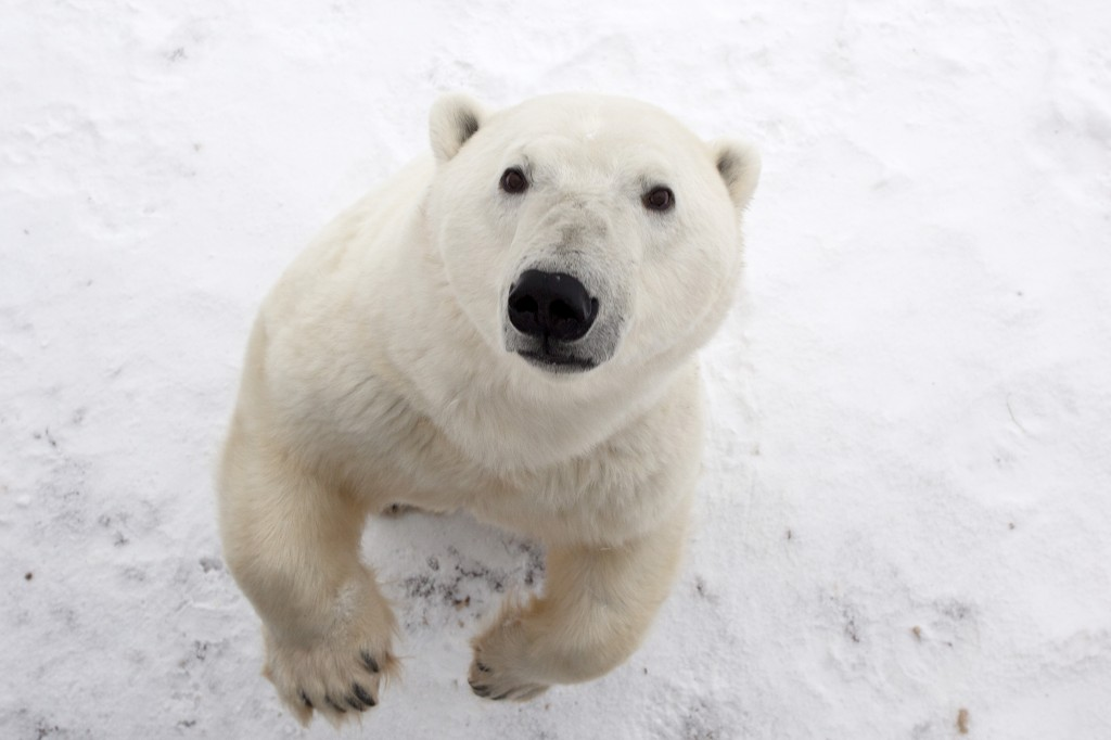 Polar bears are social creatures and often communicate with their noses. Photo (c) Glen Delman
