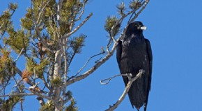 Video: Crows, the Ultimate Problem Solvers