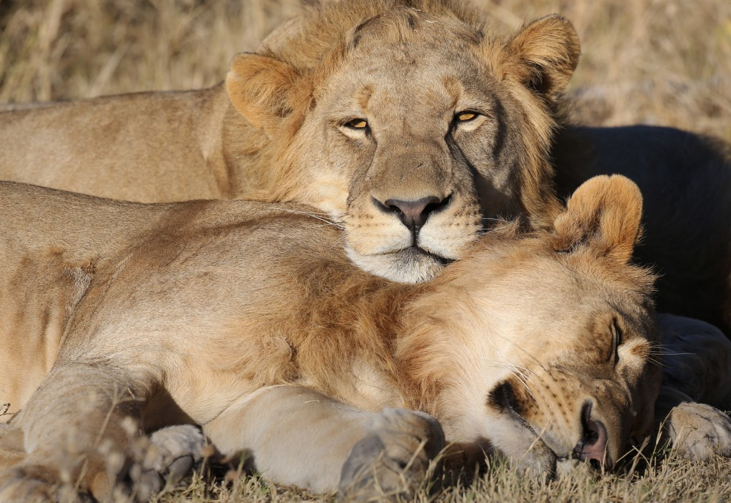lions laying in the sun, africa, botswana
