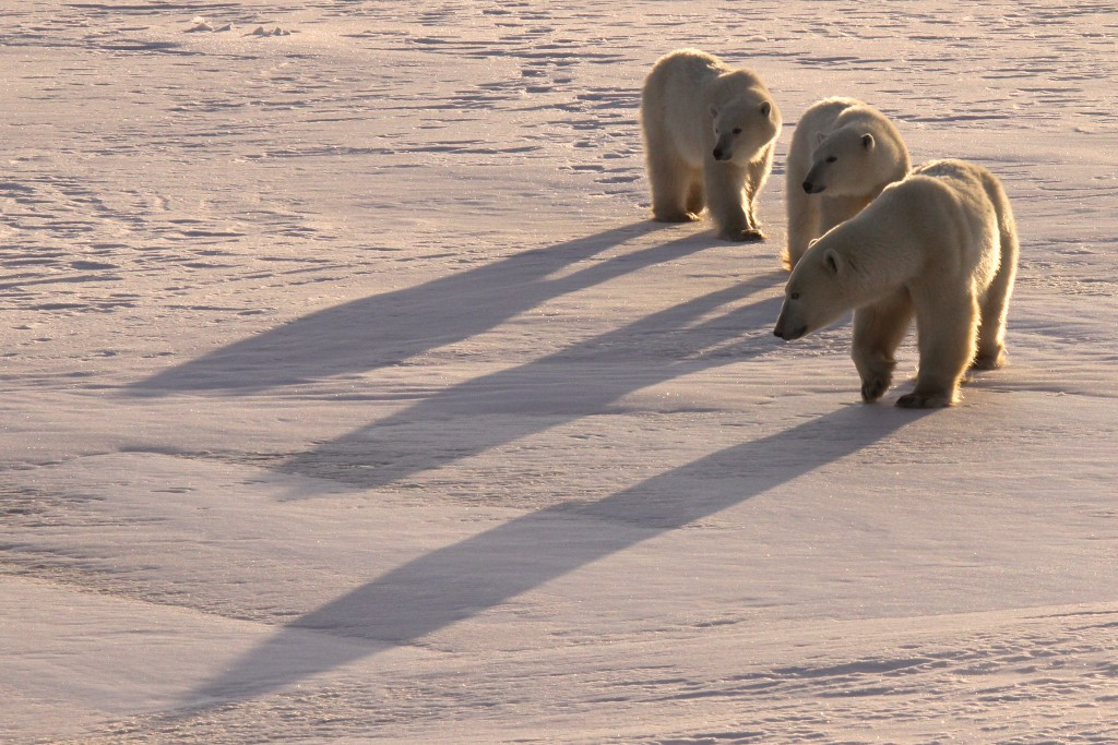 Polar bear tracking allows WWF to receive regular updates about polar bears' locations and how they may be affected by climate change. Photo (c) Melissa Scott