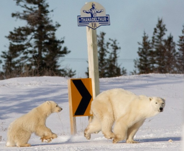 mother polar bear and polar bear cub, Churchill Manitoba Canada