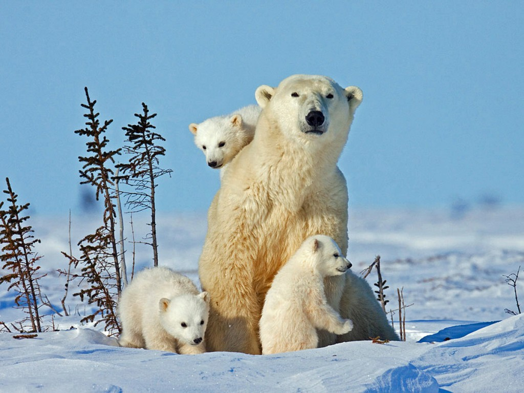 polar bear triplet cubs
