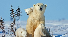Polar Bear Roundup: This Year's Top 9 Polar Bear Stories