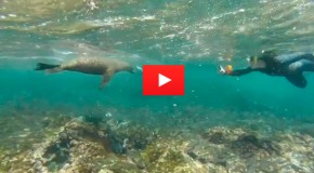 Video of the Week: Swimming with Galapagos Sea Lions