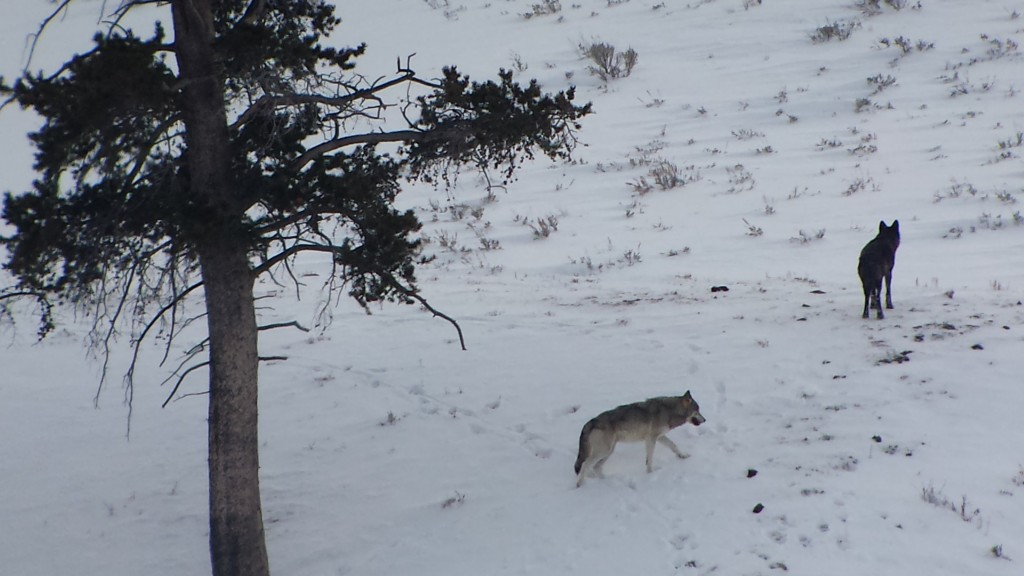 Wolves in the Lamar Valley, Yellowstone National Park, winter