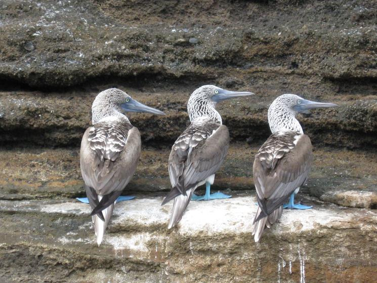 Three blue-footed boobies in the Galapagos