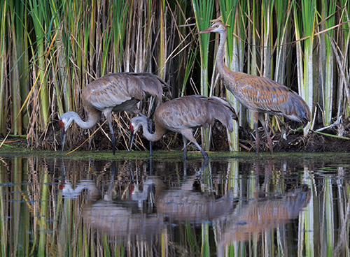 Sandhill cranes represent one of the Earth's Great Migrations. ©John T. Andrews