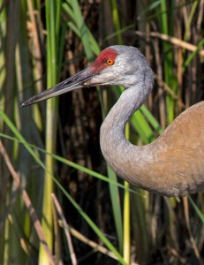 Cranes have been around since the Eocene. ©John T. Andrews