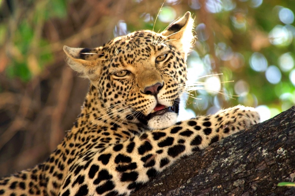 An African leopard rests in an acacia tree after feeding on a kill in Botswana's Okavango Delta.