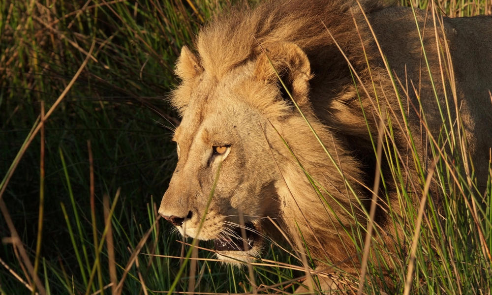 A maned lioness in Botswana