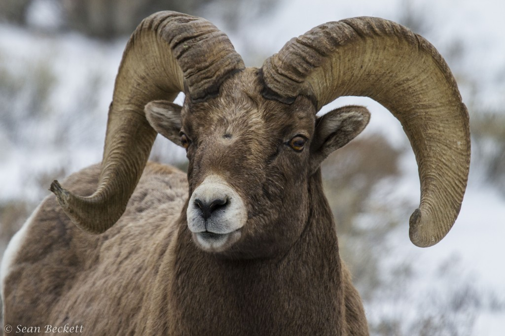 Bighorn Sheep, Yellowstone National Park, winter