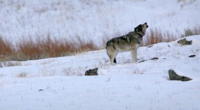 Nat Hab Exclusive: Alone with the last remaining wolves of the Lamar Canyon Pack