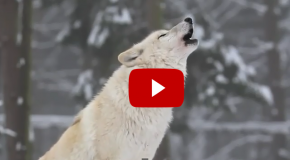Video of the Week: Did the Reintroduction of Wolves Truly Change Yellowstone?