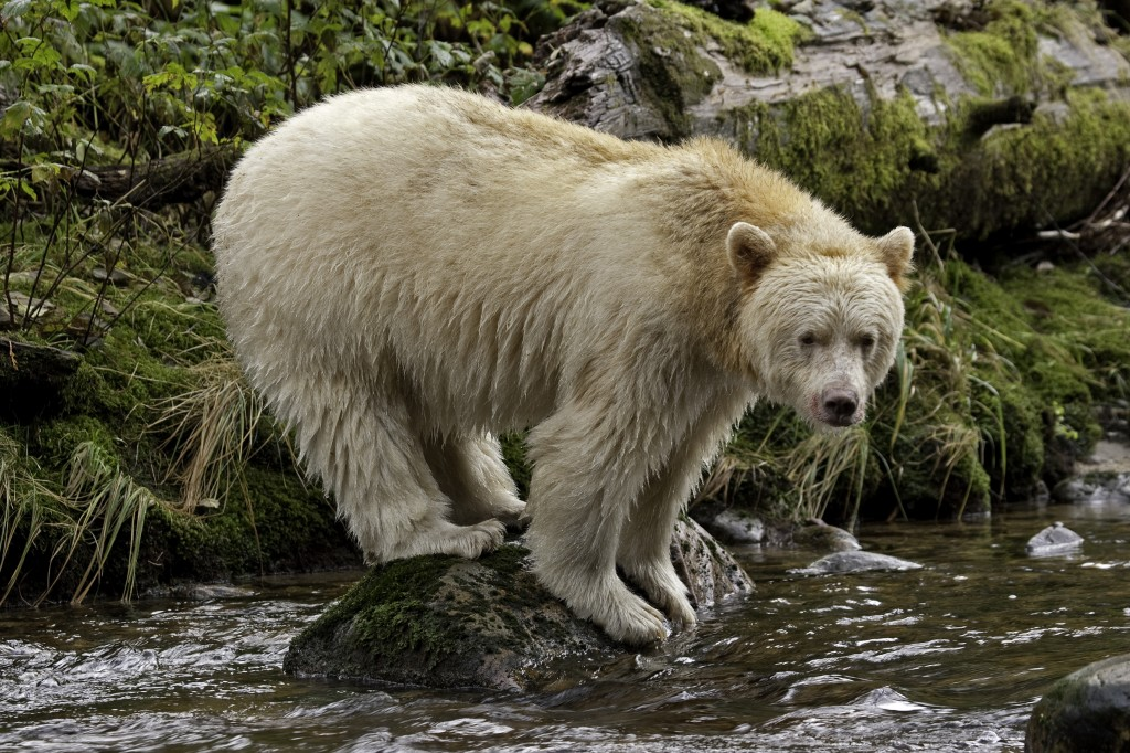 Great Canadian Rv >> Study: Tourism Helps Protect Canada's Spirit Bear