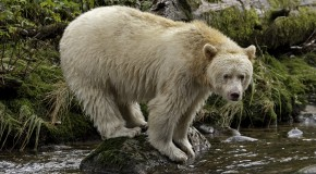Study: Tourism Helps Protect Canada's Spirit Bear