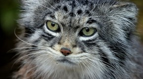 Pallas's Cats Migrating Upward, Now in Nepal