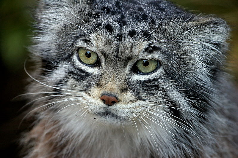 Pallas Cat photo from Wikipedia