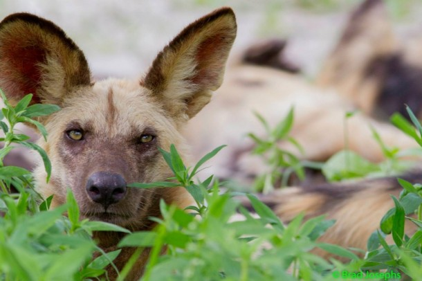 African wild dog, Botswana Safari