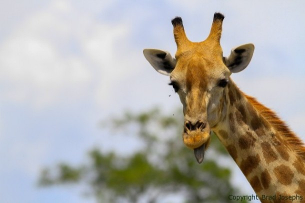 giraffe during Africa safari in Botswana