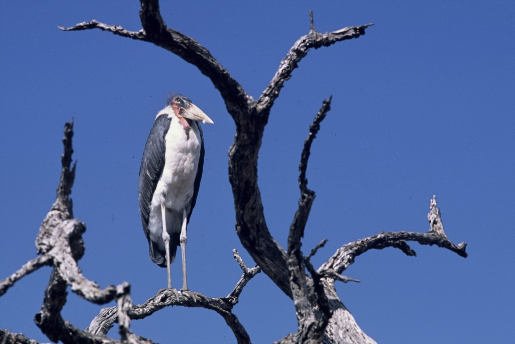Maribou stork in South Africa. Photo (c) Michel Terrettaz/WWF-Canon
