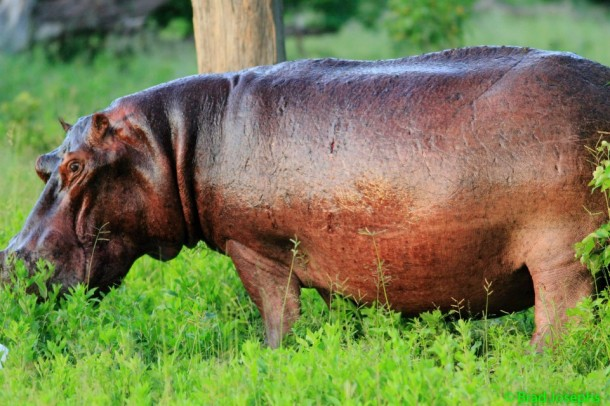 beautiful  hippo in the Okavango Delta