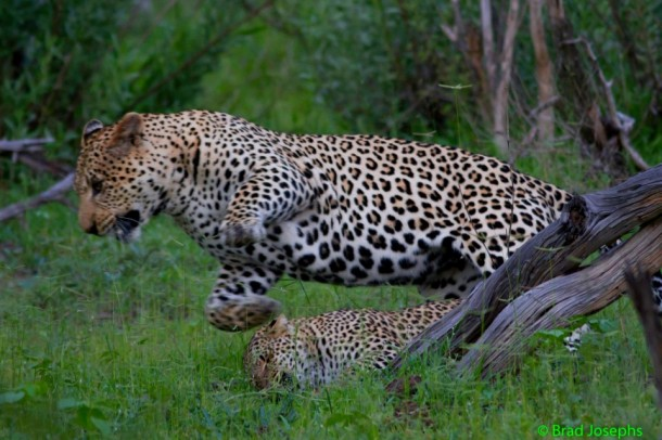 Mating leopards in Botswana, Africa