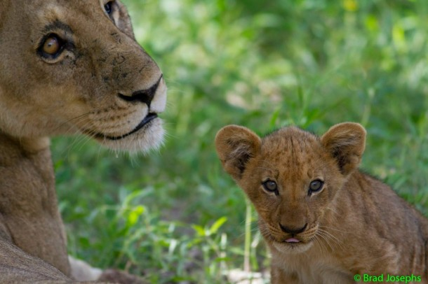Botswana green season lion and cub