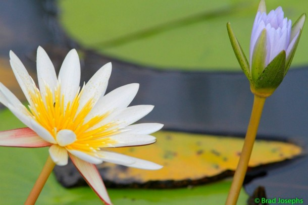 The vibrant lotus flowers of the Okavango.