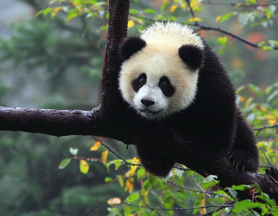 Giant Panda, Befengxia Panda base in Ya'an, Sichuan, China
