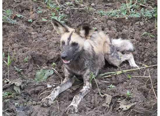 Wild dog. Photo © Marsea Nelson