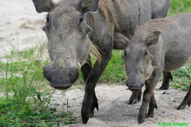 Warthog and baby in Bostwana Okavango Delta