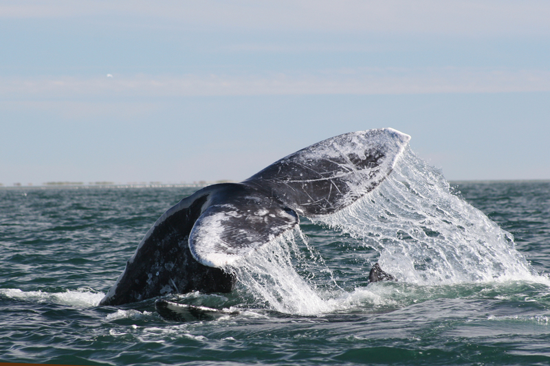 Lobtailing grey whale in Mexico
