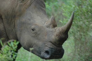 White rhino. Photo © Mark Hickey